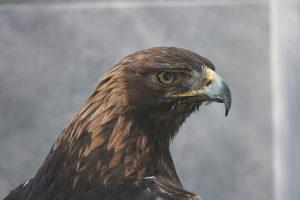 Adler der Störtebeker Festspiele in Ralswiek auf Rügen