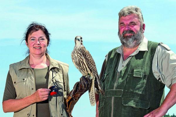 Falkner der Störtebeker Festspiele mit Greifvogel in Ralswiek auf Rügen